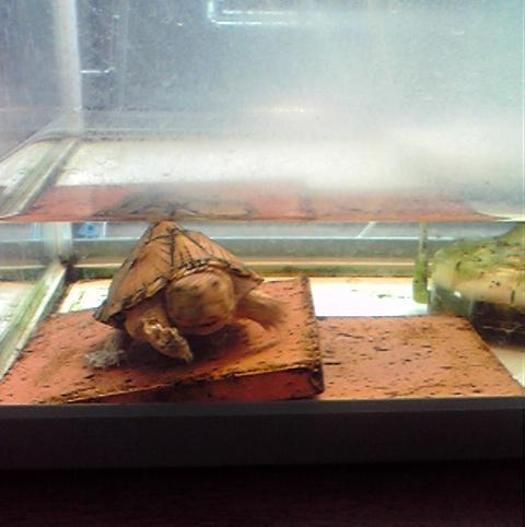 カメの飼育、紫外線ライト交換